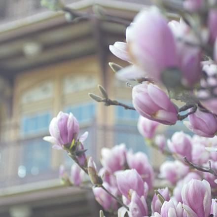 Patterson Park Cherry Blossom, Nikon D3200, Sigma Macro 50mm F2.8 EX DG