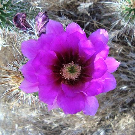 AZ cactus Flower, Sony DSC-W110
