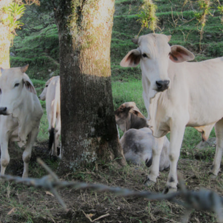 Cows, Canon POWERSHOT A3100 IS