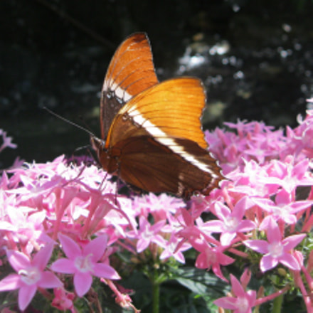 Butterfly and flowers, Canon POWERSHOT A3100 IS