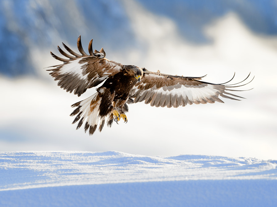 Golden eagle landing in snow, Telemark Norway by Bjørn H Stuedal on 500px.com