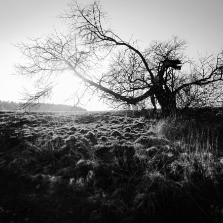Dragon tree, Nikon COOLPIX L320