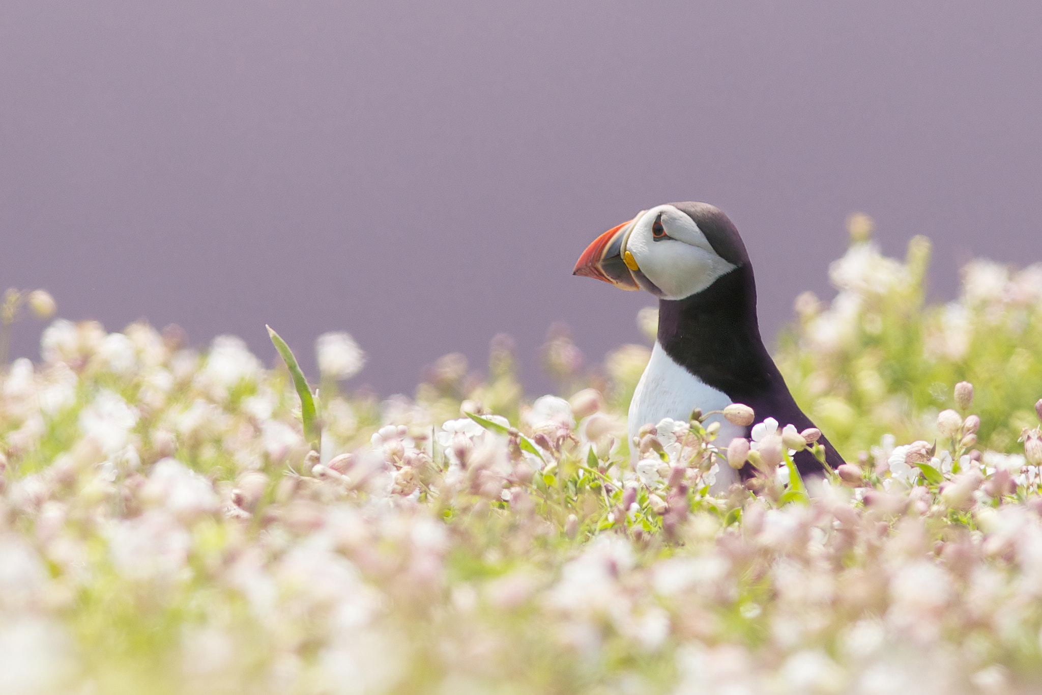 Photograph puffin in pink by Mark Bridger on 500px