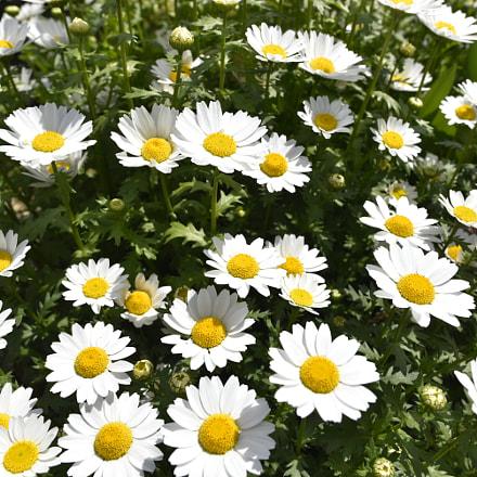 daisy, Nikon D750, AF-S Nikkor 24mm f/1.8G ED