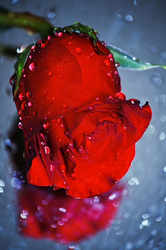 Photograph Red Rose *2* by Ivelina Blagoeva on 500px