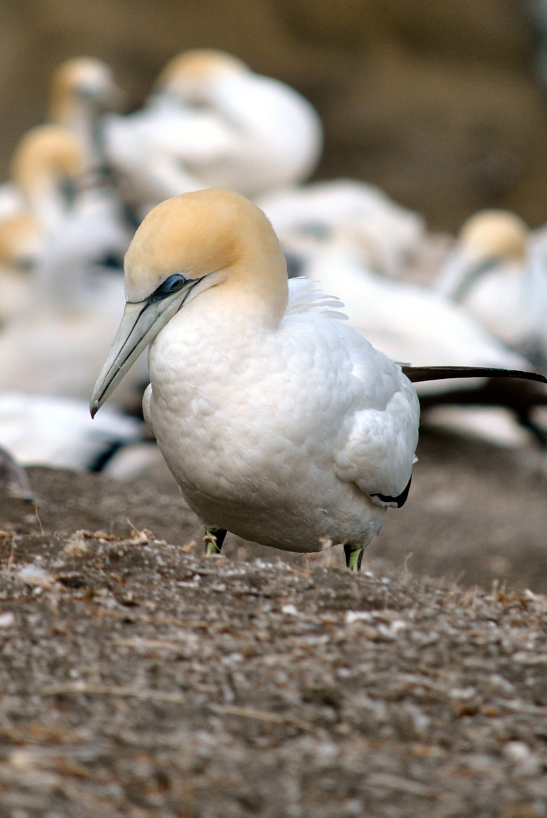 Photograph GANNET by jakkals b on 500px