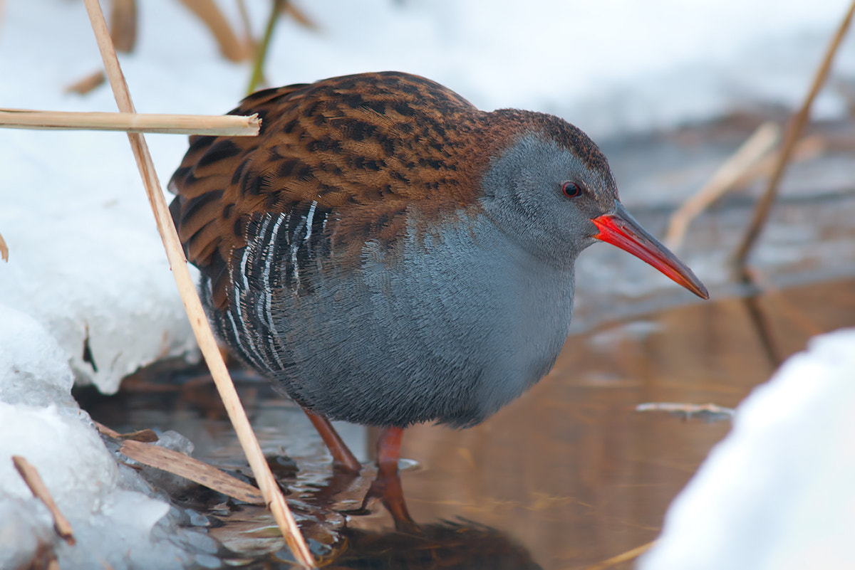 Photograph Water Rail by Rob Janné on 500px