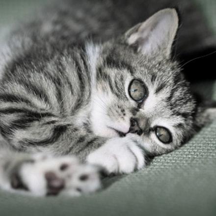 Cat, Nikon D300, AF Micro-Nikkor 105mm f/2.8