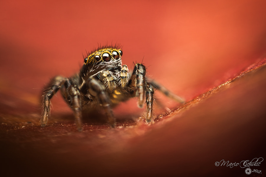 Photograph Phlegra fasciata female jumping spider by Mario Čehulić on 500px