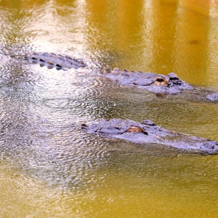 Aligators, Nikon D7100, Sigma APO Macro 150mm F2.8 EX DG HSM