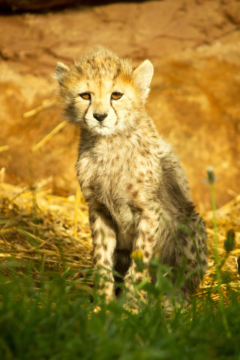 Photograph Cheetah Cub by Jay Rowe on 500px