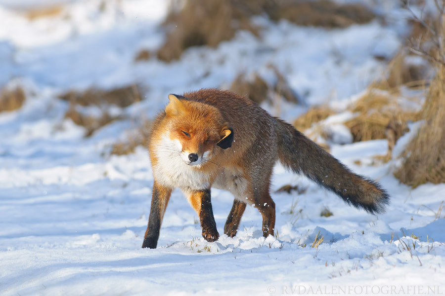 Photograph Fox in snow by Remco van Daalen on 500px