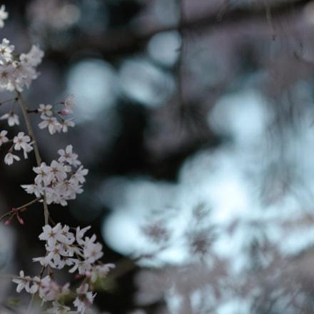spring for tokyoites, Nikon D700, AF DC-Nikkor 135mm f/2D