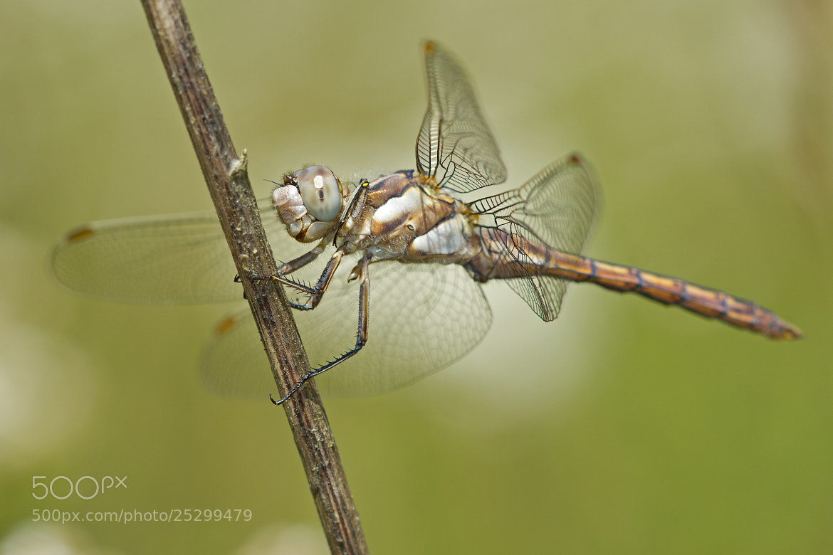 Photograph Southern Skimmer by Anne Sorbes on 500px