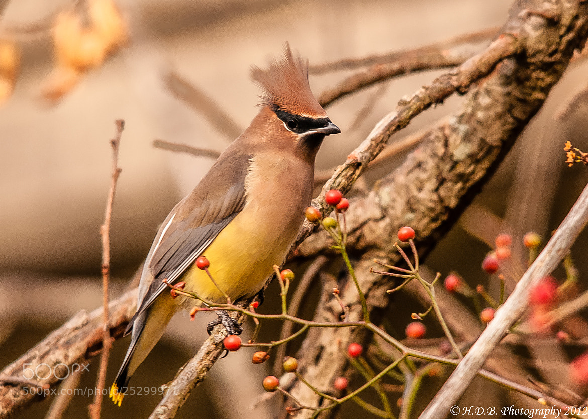 Photograph Punk Cedar Waxwing by Harold Begun on 500px