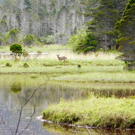 Sitka Blacktail Deer, Nikon COOLPIX AW100