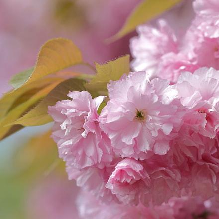 立体感 Cherry blossom 0603, Canon EOS KISS X9
