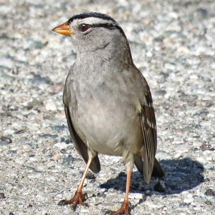 A Bird Saying Hello, Canon POWERSHOT SX60 HS, 3.8 - 247.0 mm