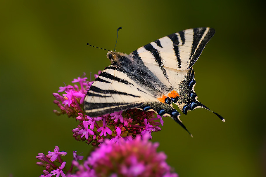 Photograph Iphiclides podalirius by Roberto Becucci on 500px