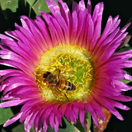 A Bee Enjoying A, Canon POWERSHOT SX60 HS, 3.8 - 247.0 mm