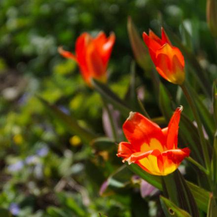 Spring beautys, Sony SLT-A77V, Tamron SP 24-70mm F2.8 Di USD