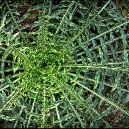 054 - Lletsó (Sonchus hierrensis), Fujifilm FinePix S602 ZOOM