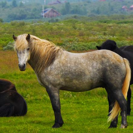 Icelandic horse, Nikon COOLPIX L320
