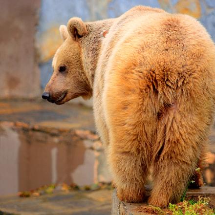 Brown bear, Nikon D7100, Sigma APO Macro 150mm F2.8 EX DG HSM