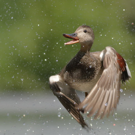 Gadwall and drops of, Canon EOS 70D, Canon EF 400mm f/5.6L