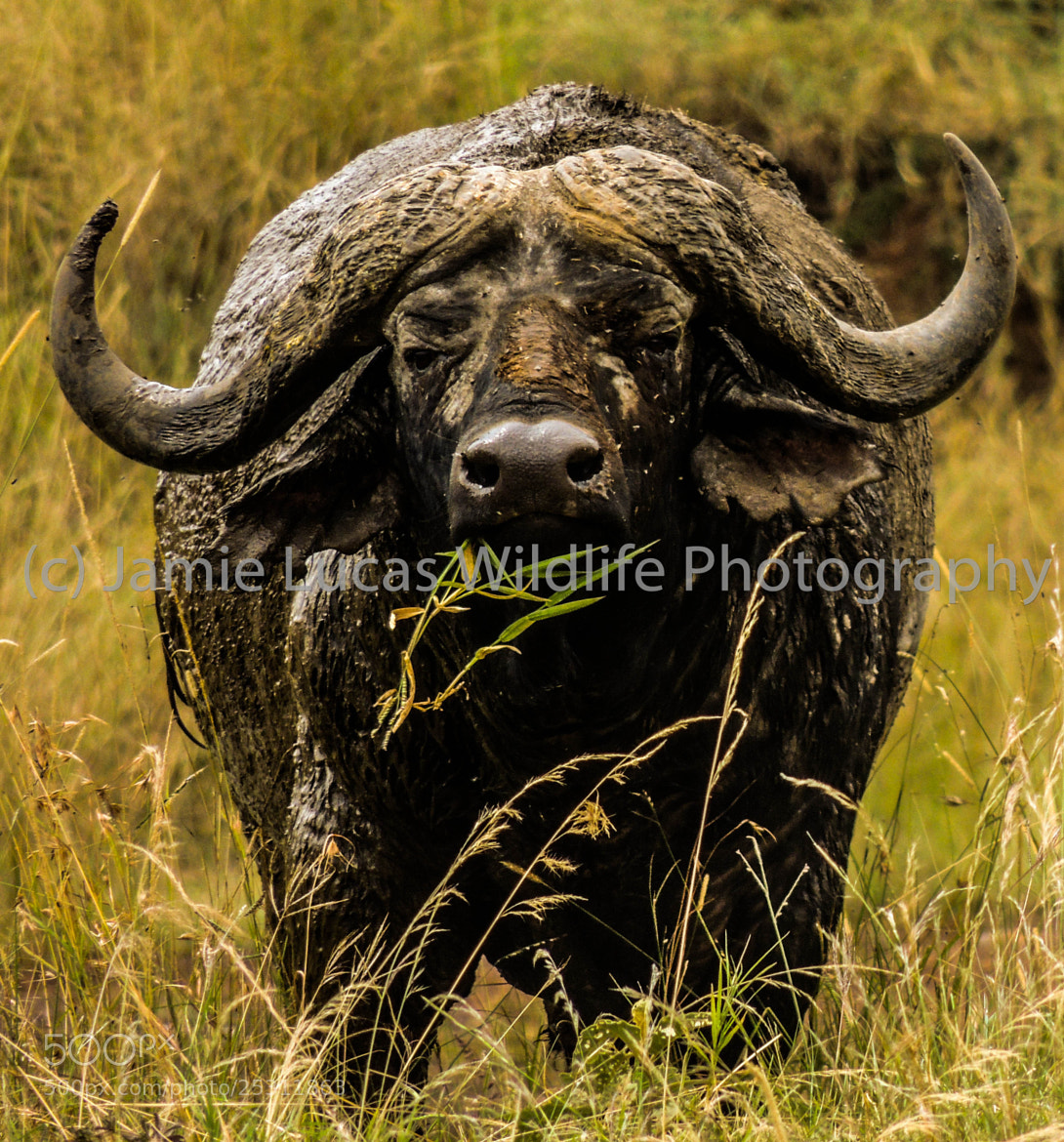Photograph African/Cape Buffalo by Jamie Lucas Wildlife Photography on 500px