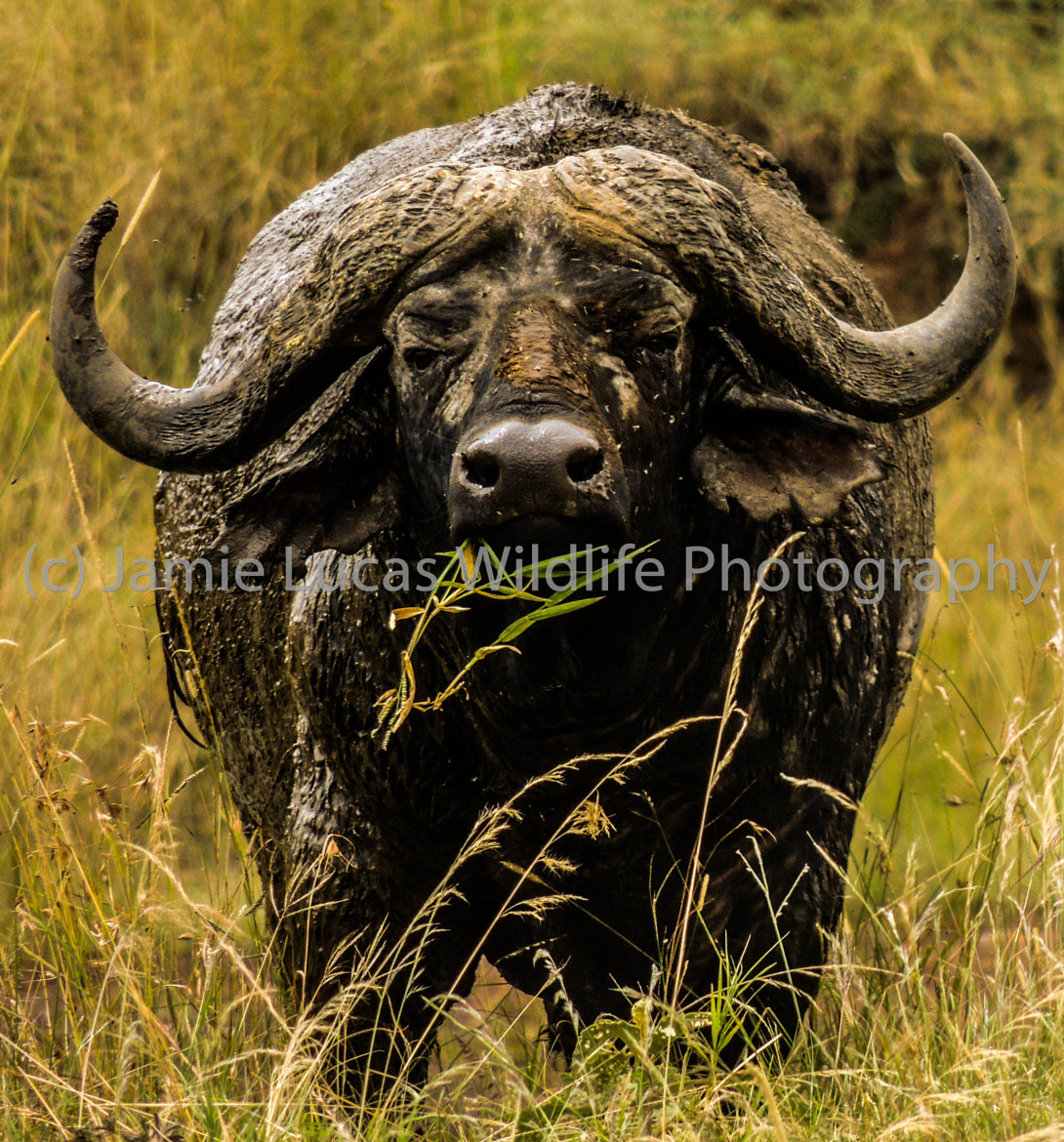 Photograph African/Cape Buffalo by Jamie Lucas Photography on 500px