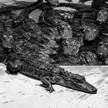 Youth alligators in South, Fujifilm FinePix S4200