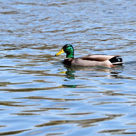Eagels, Ducks Geese around, Nikon D3400, Sigma APO 120-400mm F4.5-5.6 DG OS HSM