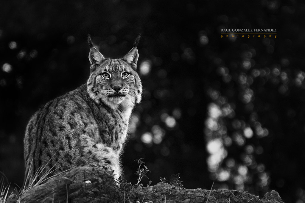 Photograph lynx by Raul Gonzalez on 500px