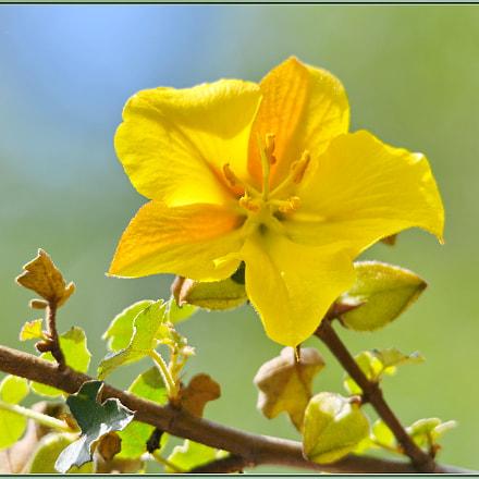 Yellow Factor Flower, Nikon D850, Sigma APO 120-400mm F4.5-5.6 DG OS HSM