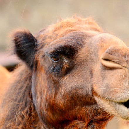 Camel, Nikon D7100, Sigma APO Macro 150mm F2.8 EX DG HSM