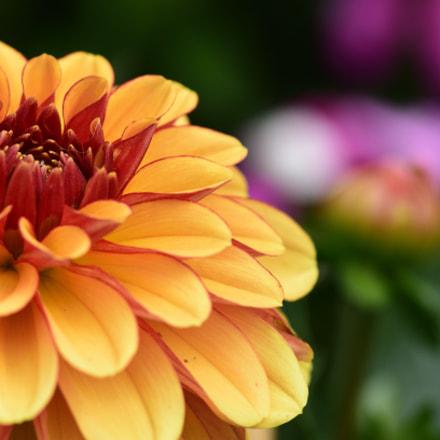 Orange Red, Nikon D7200, AF-S Nikkor 300mm f/4D IF-ED