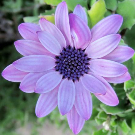 A Blue Daisy Flower, Canon POWERSHOT SX60 HS, 3.8 - 247.0 mm