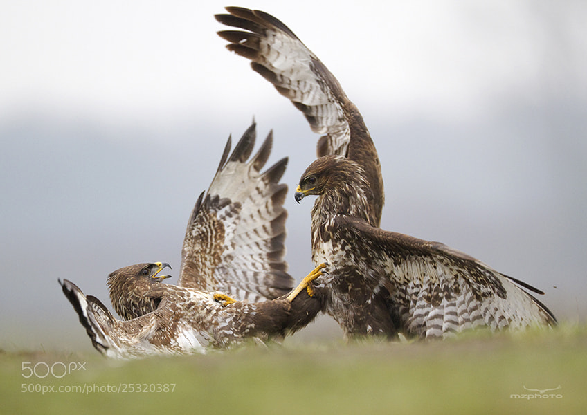 Photograph Common Buzzards by Mirek Zítek on 500px