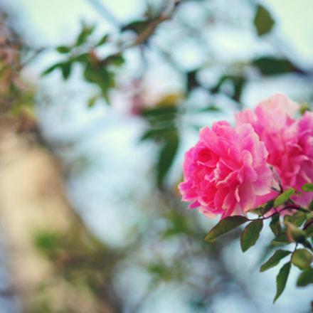 Spring rose, Nikon D300, AF Nikkor 85mm f/1.8D