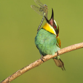 European Bee-Eater by Mirek Zítek (MirekZitek)) on 500px.com