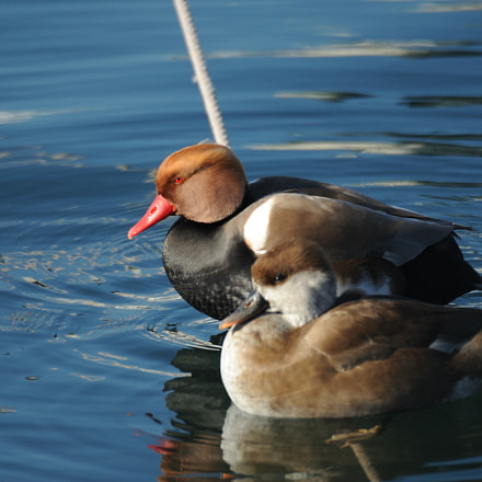 Red-crested pochard, Nikon D3, Sigma APO 170-500mm F5-6.3 Aspherical RF