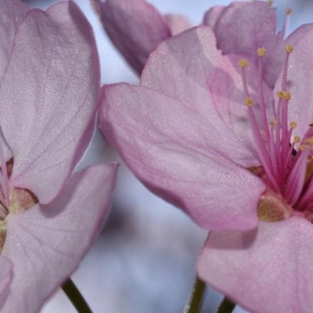 Cherry blossoms, Nikon D750, Manual Lens No CPU
