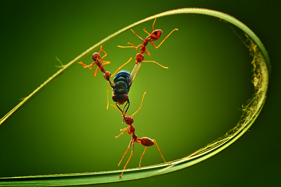 Photograph ant war by Uda Dennie on 500px