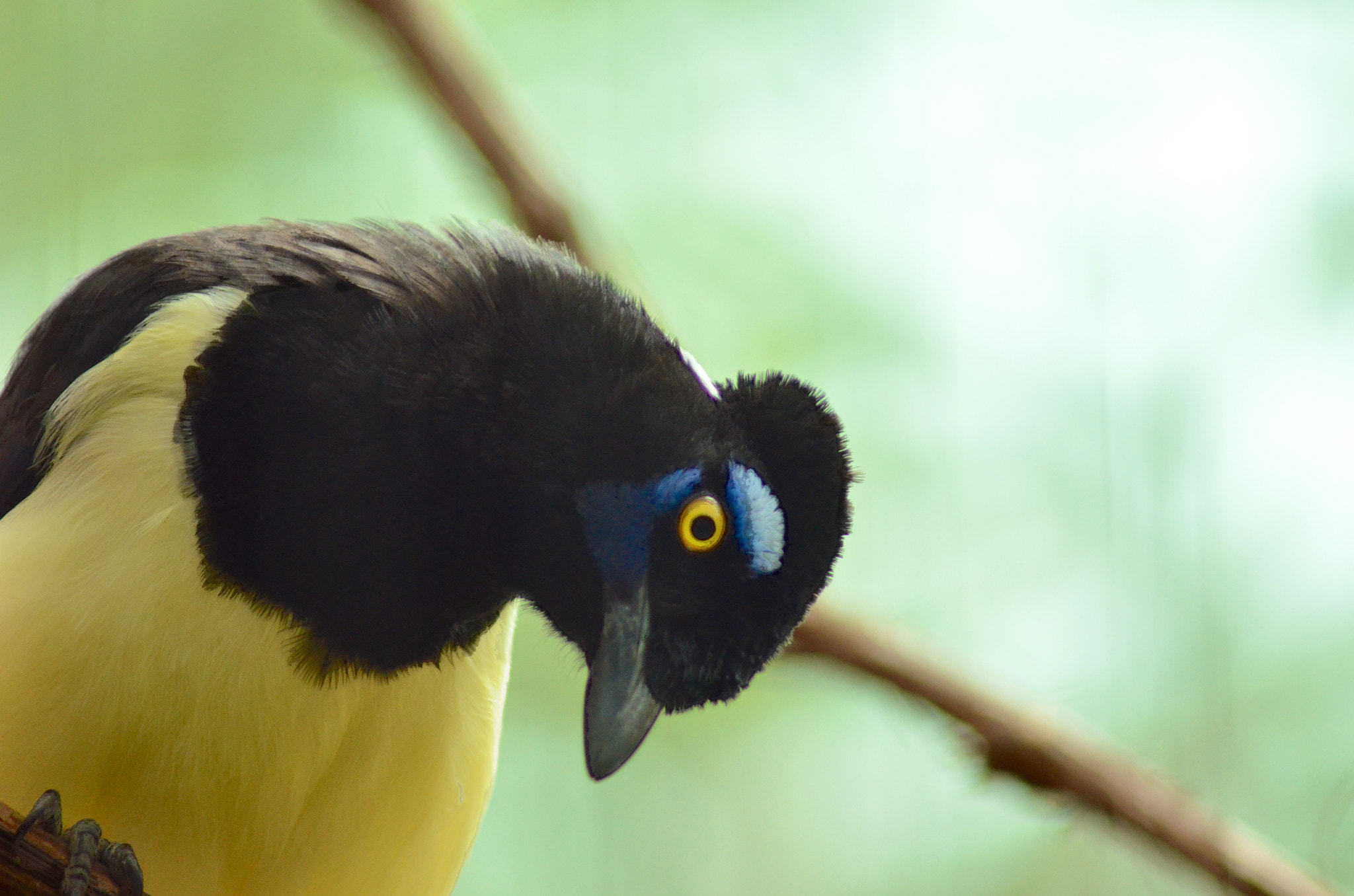 Photograph Plush Crested Jay by Lance Lemke on 500px