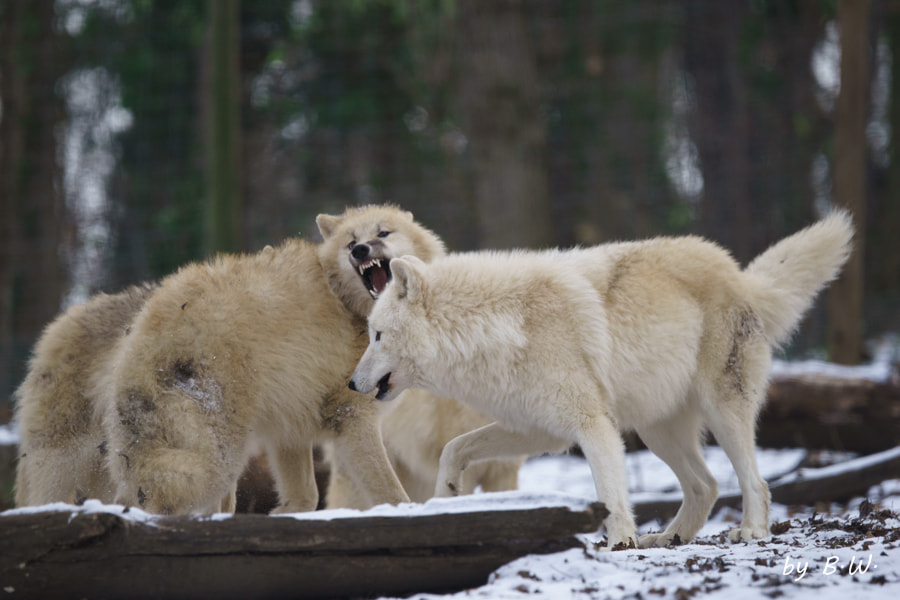 Photograph Wolves by Boris Werner on 500px