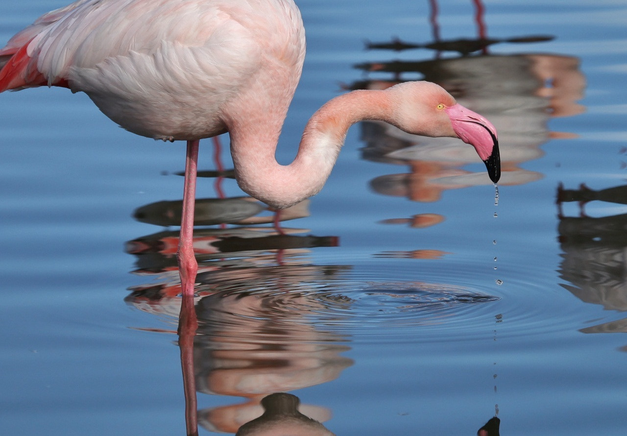 Photograph Flamingo droplets by Pescalune Photo on 500px