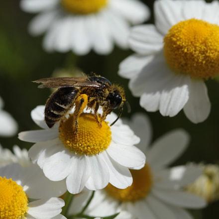 Bee, Canon EOS 1200D, Tamron SP 60mm f/2 Macro Di II