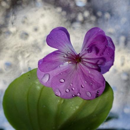 цветик, Sony SLT-A65V, Minolta AF 50mm F1.7