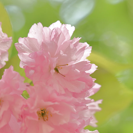 Cherry blossom and spring, Canon EOS KISS X9